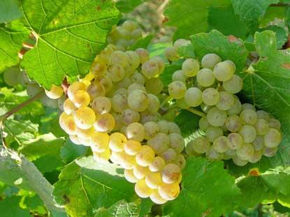 http://www.wijnkronieken.nl/wp-content/uploads/2012/03/Aligote.jpg