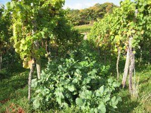 pfalz-wijngaardbio