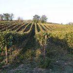 Timorasso, zeldzaam druivenras uit Piemonte