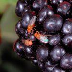 Fruitvliegje bedreigt de druivenoogst – oogsttijd 2014 #2