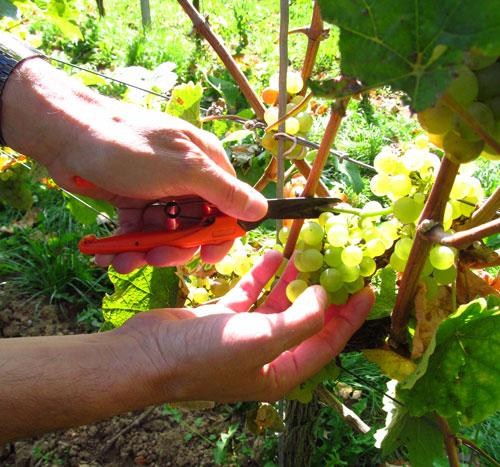 Rieslingdruiven oogsten, Weingut Gabel