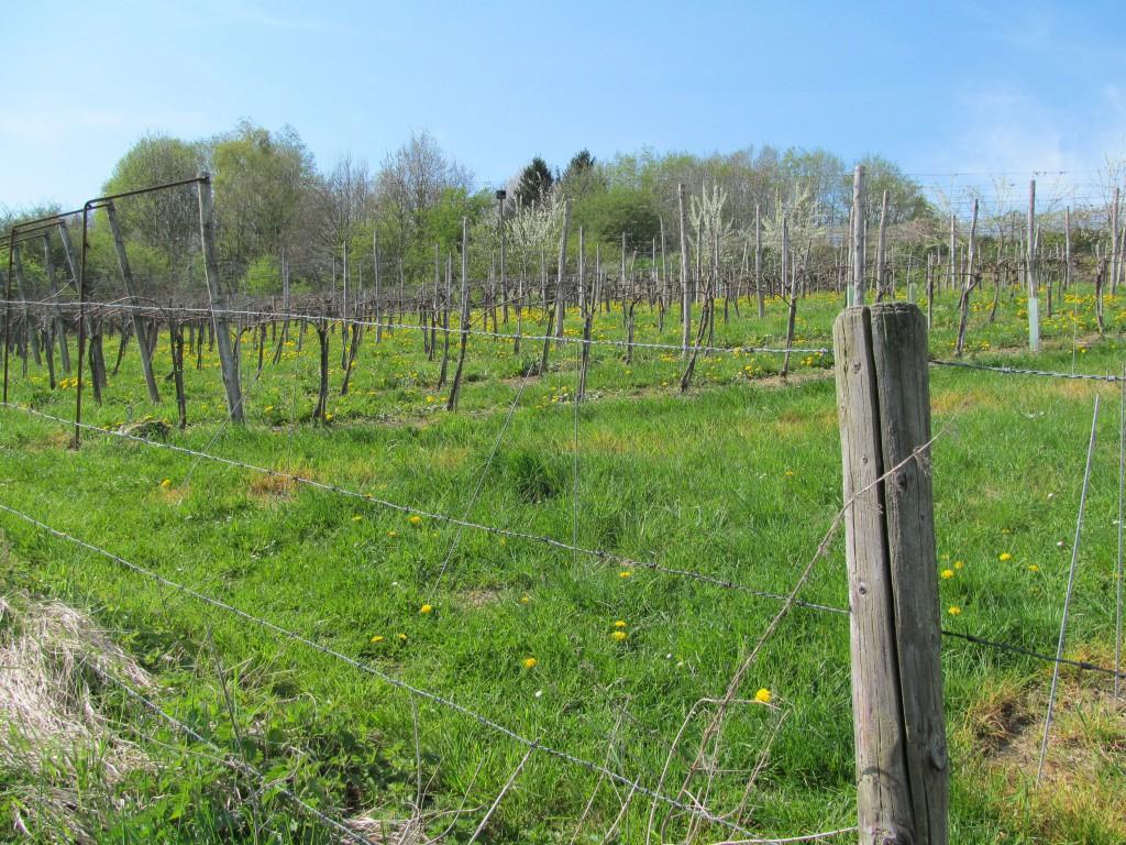 Wijngaard op de Keutenberg
