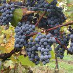 Bericht uit Mercurey: Gamay, de verboden vrucht