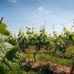 Mergellandse wijn Europees beschermd: tweede Nederlandse Beschermde Oorsprongsbenaming voor wijn