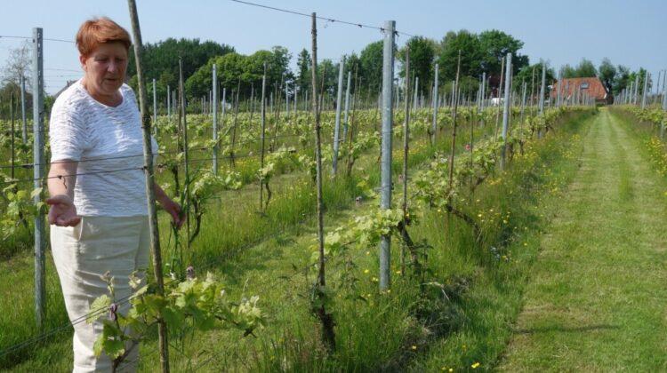 Wijngaard op de wierde: een bezoek aan Groot Maarslag